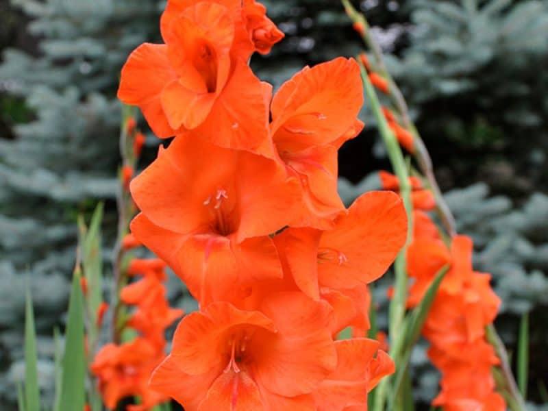 picture of gladiolas