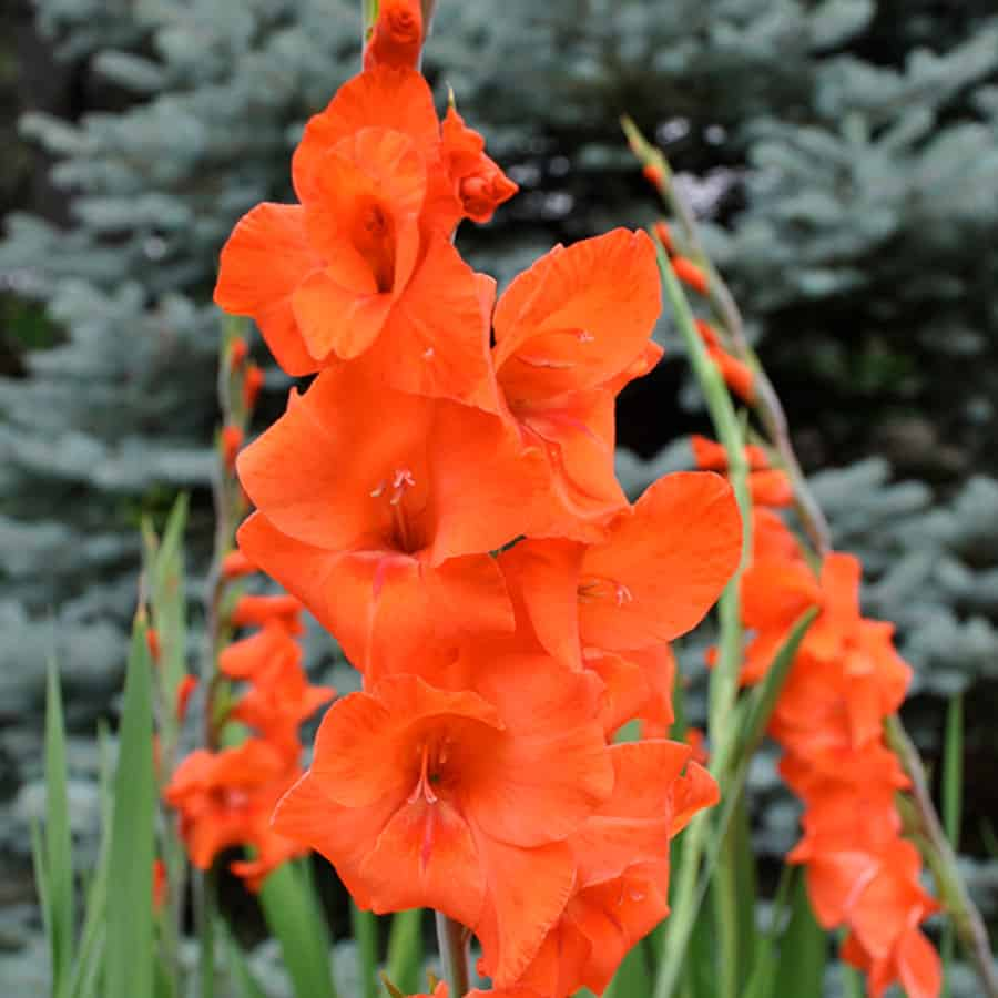 picture of gladiolas