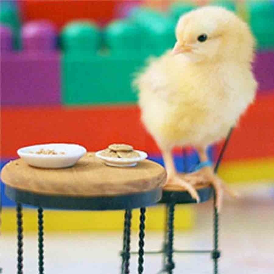 Chick on a chair
