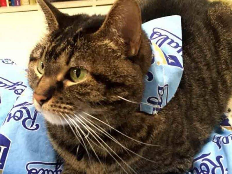 Photo of cat with bandana