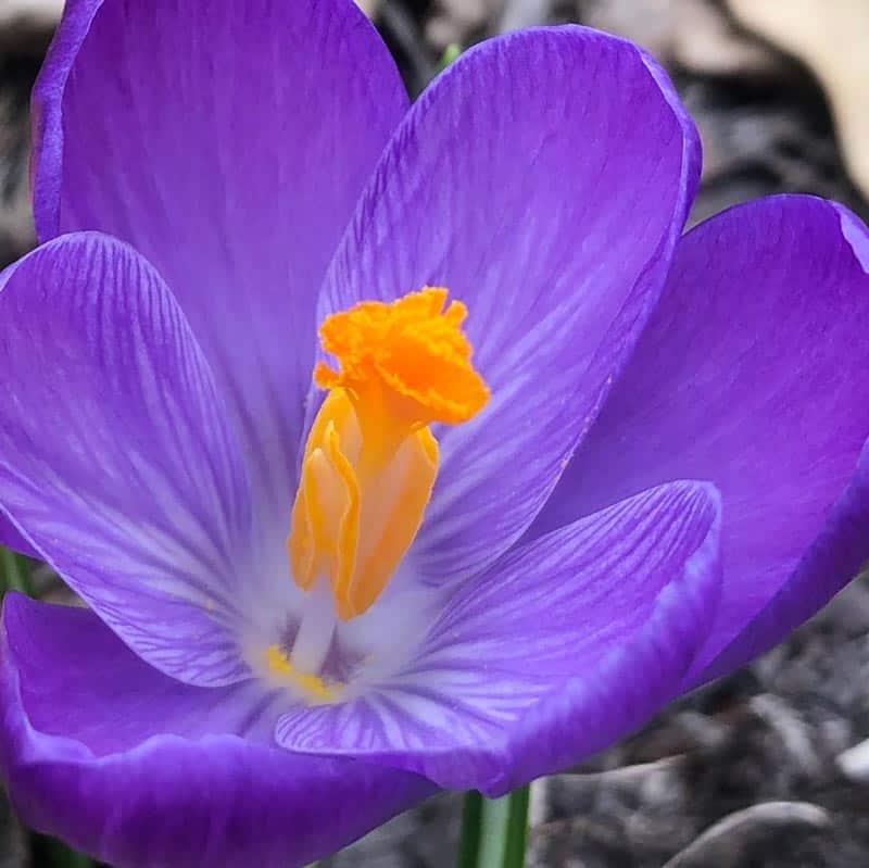 purple flower closeup