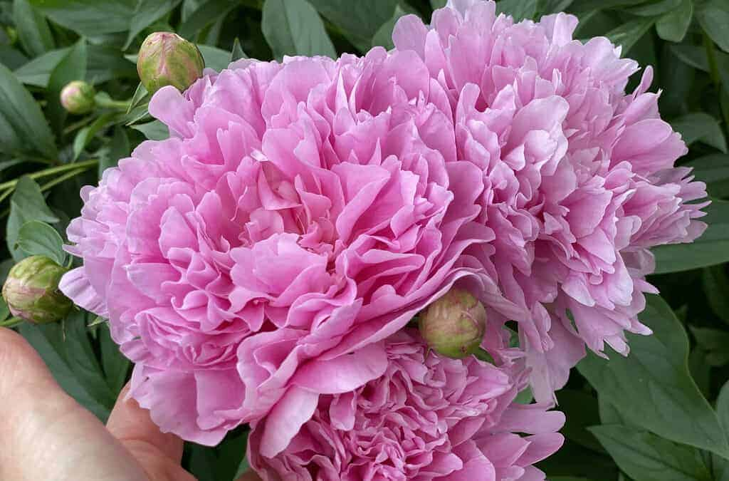 A Portrait of the Peony