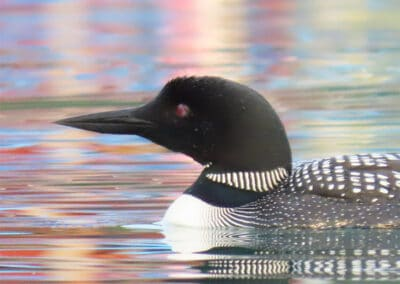 Loons on Torch Lake